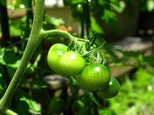 女将のトマト